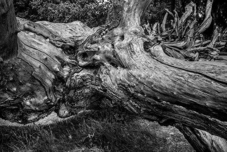 Tree Tree Trunk Trunk No People Plant Wood - Material Nature Textured  Day Rough Bark Forest Full Frame Land Close-up Wood Backgrounds Pattern Root Tranquility Outdoors Dead Plant Driftwood