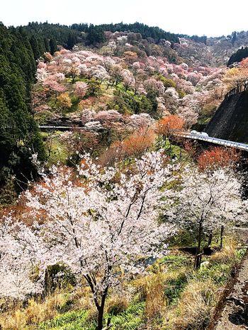 Yoshinoyama Sakura2017 Cherry Blossoms