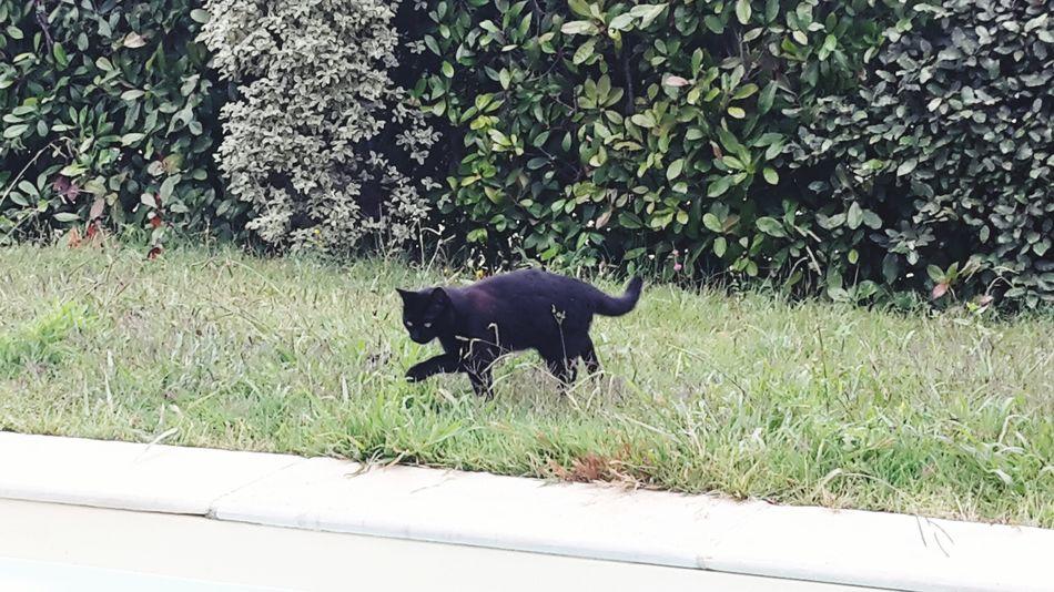 Chat Black Cats Chats Noir Noir Cat Swimming Pool Garden Photo un chat noir voulant aller boire dans la piscine.
