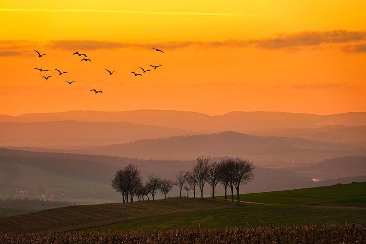 Flock of birds flying in sky at sunset