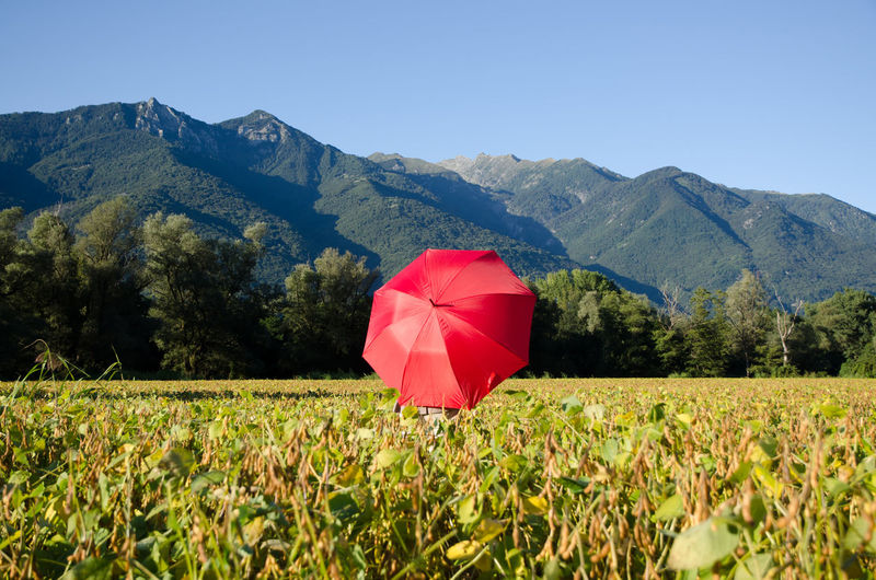 Red Umbrella on the Field with Mountain in Switzerland. Agriculture Beauty In Nature Clear Sky Day Environment Field Food Growth Land Landscape Mountain Nature No People Outdoors Plant Protection Red Rural Scene Scenics - Nature Sky Swiss Alps Tranquil Scene Tranquility Tree Umbrella