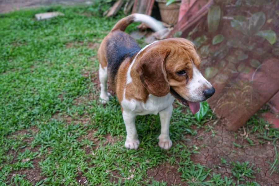 Dog Pets Domestic Animals One Animal Animal Themes Grass Cute Puppy Beagle Mammal Outdoors Day A7ii Mirrorless