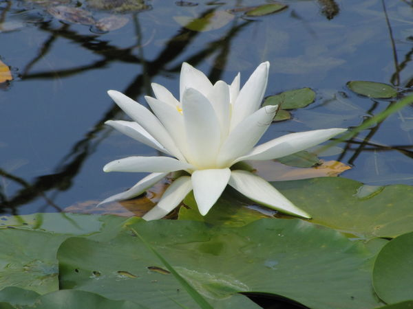Beauty In Nature Close-up Day Floating On Water Flower Flower Head Fragility Freshness Growth Leaf Lotus Water Lily Nature No People Outdoors Plant Water Water Lily White Color