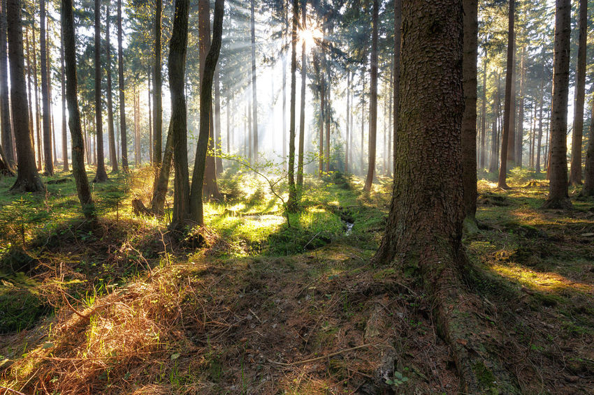 back to the roots Beauty In Nature Coniferous Tree Day Environment Forest Growth Harz Harzmountains Land Landscape Nature No People Non-urban Scene Outdoors Plant Scenics - Nature Streaming Sunlight Tranquil Scene Tranquility Tree Tree Trunk Trunk WoodLand
