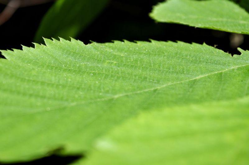 Leaf Plant Part Macro Backgrounds Close-up Plant Green Color Leaf Vein Plant Life Leaves