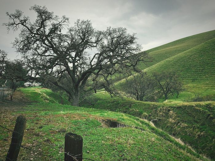 """The Guardian"" An old oak tree guards a ravine leading up to a secluded cattle ranch in the San Francisco East Bay Area, California. California Secluded  Fence Posts Hills Cattle Ranch Ranch Ravine California Oak Tree Oak Trees Oak Tree Sky Green Color Tree Nature Beauty In Nature Rural Scene"