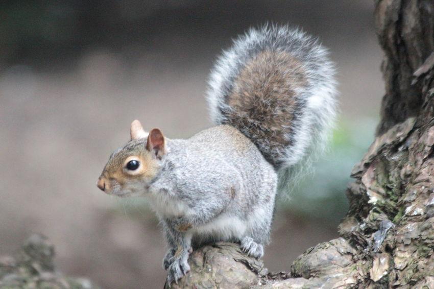 Nature Grey Squirrel