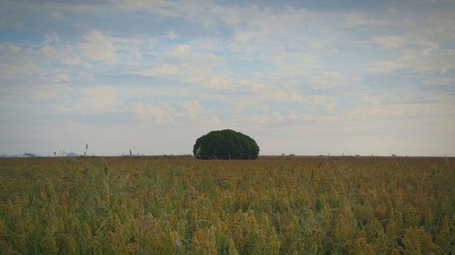 Fild Tree