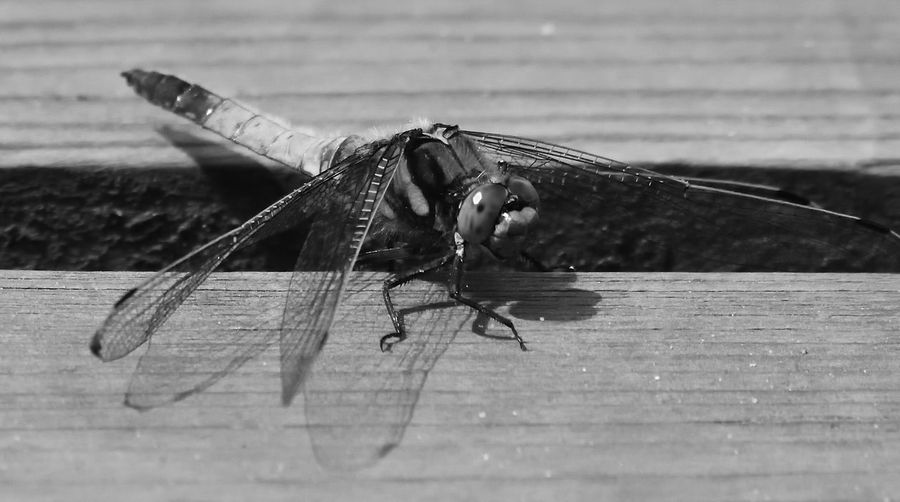 Agility Animals In The Wild Beauty In Nature Dragonfly Dragonfly Nature Insects Eye4photography  EyeEm Best Shots EyeEm Nature Lover Heathland Dragonfly Insect Insect Collection Insect Paparazzi Insect Photography Keeled Skimmer Nature Nature Nature Photography Nature_collection Naturelovers New Arrival Orthetrum Coerulescens Wildlife Wildlife & Nature Wildlife Photography