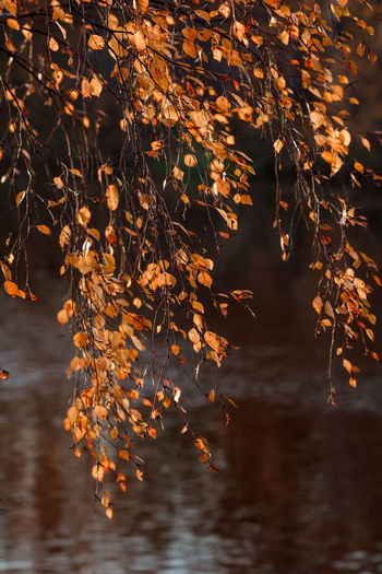 Plant Part Leaf Change Autumn Plant Orange Color Beauty In Nature Nature Tree Branch No People Maple Leaf Growth Tranquility Day Outdoors Leaves Focus On Foreground Close-up Maple Tree Natural Condition Autumn Collection