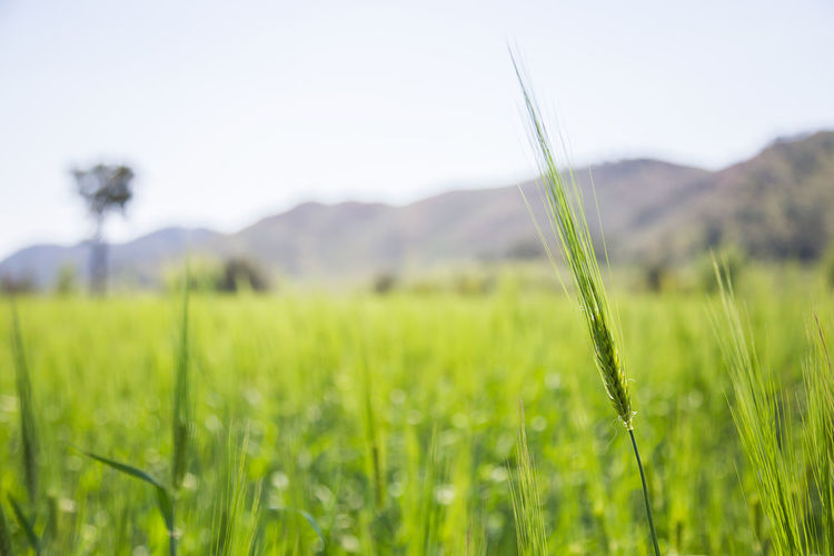 grain field Irrigation Equipment Rural Scene Cereal Plant Tree Rice Paddy Field Crop  Springtime Sky Agricultural Field Wheat Farm Grain Rye - Grain Farmland Plantation Blade Of Grass