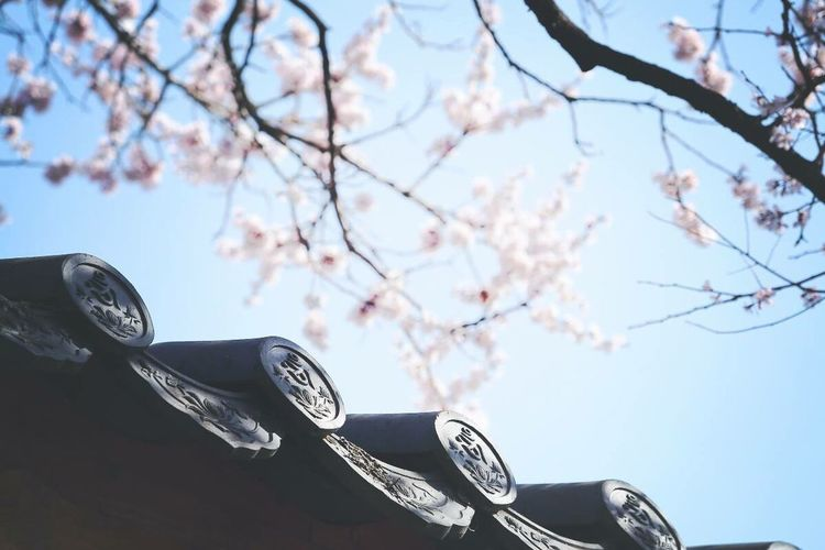 Korean Temple Cherry Blossoms Streetphotography 불암사 벚꽃