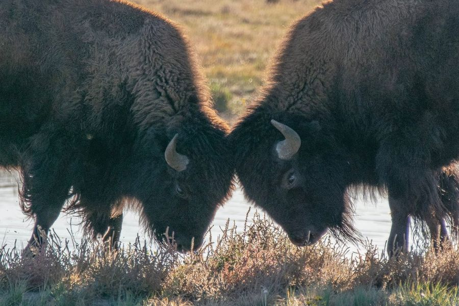 Bison showing off for the girls. Bison Fight Club Plains Plant Nature Tree Close-up Sunlight Beauty In Nature