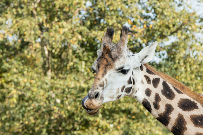 Giraffe sticking out his tongue Animal Close-up Giraffe Herbivorous Livestock Mammal Portrait Tongue Zoology