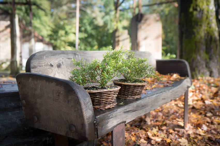 Autumn Leaves Beelitz Heilstätten Bench Flower Pot Plants Basket Chair Close-up Day Decoration Diminishing Perspective Growth Leaf Nature No People Outdoors Plant Selective Focus Tree Wood - Material