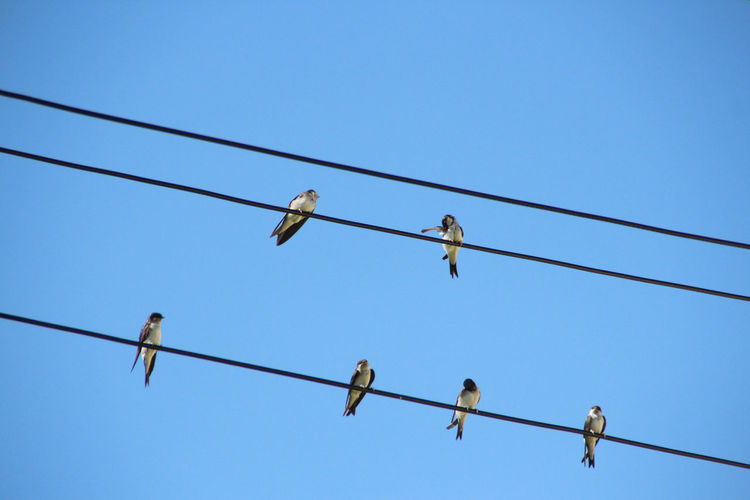 Swallows gather already Bird Bird Photography Birds Birds Of EyeEm  Birds_collection Birds🐦⛅ Blue Cable Clear Sky Low Angle View Mauersegler Nature Nature Nature Photography Nature_collection Outdoors Perching Power Line  Schwalben Sky Swallows Adapted To The City