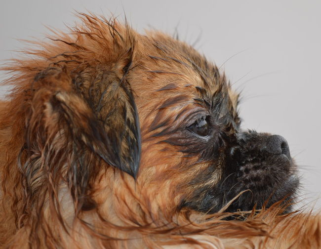 Animal Hair Close-up Cute Dog Domestic Animals Just Had A Bath No People One Animal Pets Wet Dog
