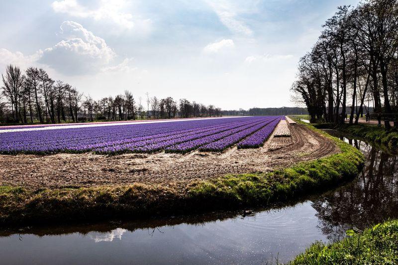 Tulip fields of