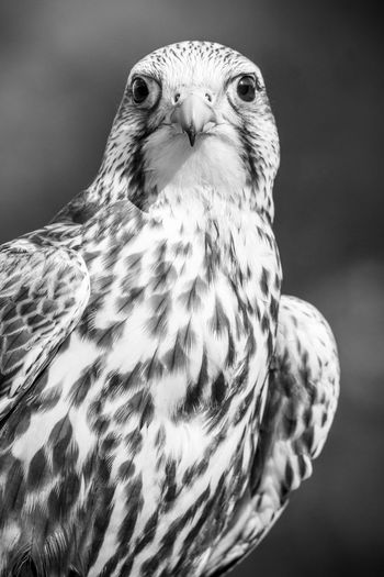 Animal Head  Animal Themes Animals In The Wild Beak Bird Bird Of Prey Blackandwhite Close-up Feather  Focus On Foreground Nature One Animal Nature's Diversities Portrait Wildlife Naturelovers Nature_collection EyeEm Nature Lover Nature Photography Beauty In Nature Animal Eye Animal Body Part Animals Animal Photography Black And White Pet Portraits