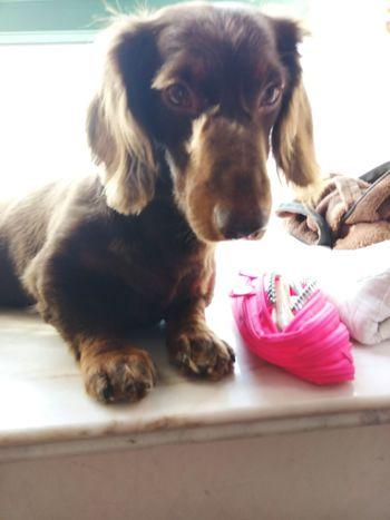 Check This Out My Puppy Dog❤ Cute Pets Dachshund Enjoying Life I Love My Dog Dachshundlove Doglover Dog Love Dog Lover Doggie Dogs Of EyeEm Sausagedog