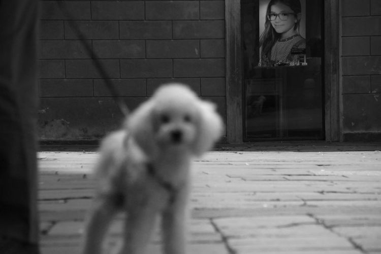 B&w Black And White Day Focus On Foreground Glass Mammal Outdoors Pets Poodle Portrait Seeing The Sights Selective Focus Feel The Journey Monochrome Photography