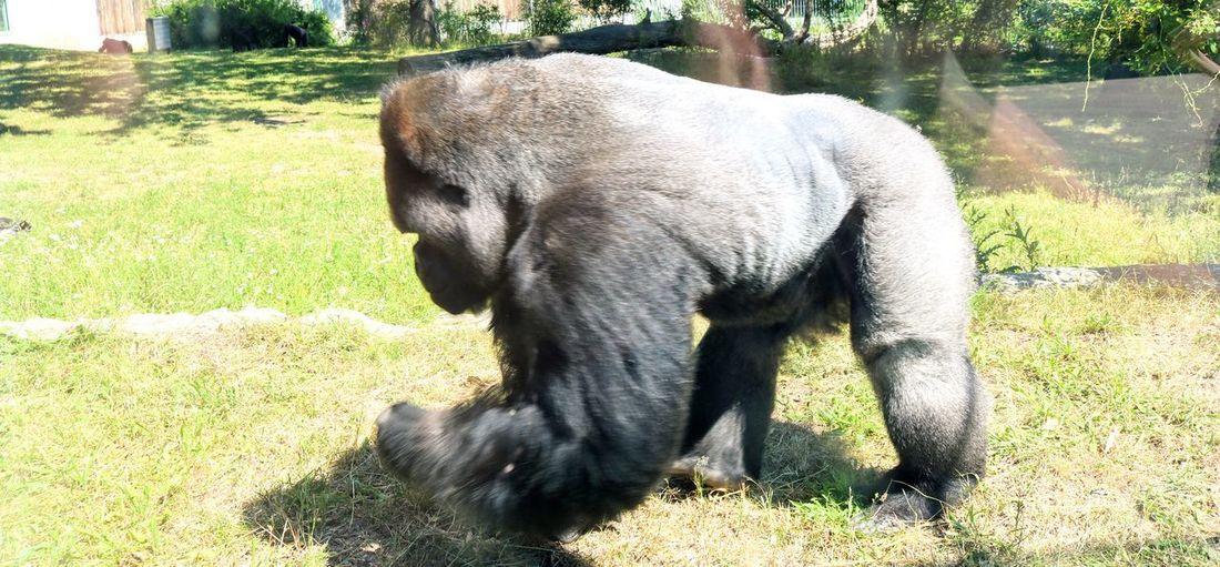 Gorilla Gorilla Menschenaffe Urwald Selten Bedrohte Art Summer Natur Animal Trunk Sunlight Shadow Grass Zoo