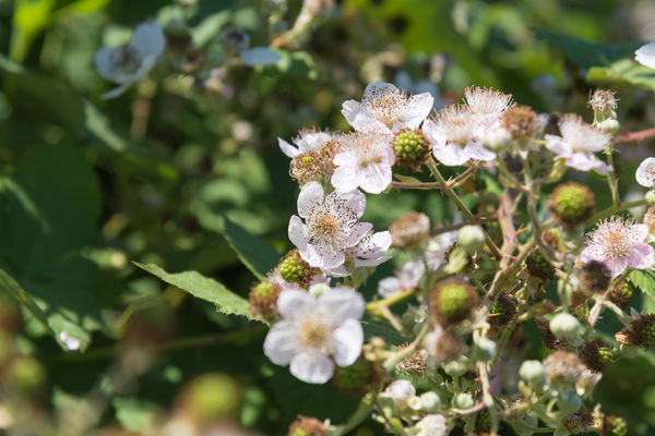 Close-up of wild blackberry flowers in bloom in June Copy Space Native Nature North America Rubus Blackberry Blossoming  British Columbia Canada Close-up Edible Mushroom Environment Flowers Food Foraging Forest Growth June Nature Petal Plant Selective Focus Shrub Summer Wild