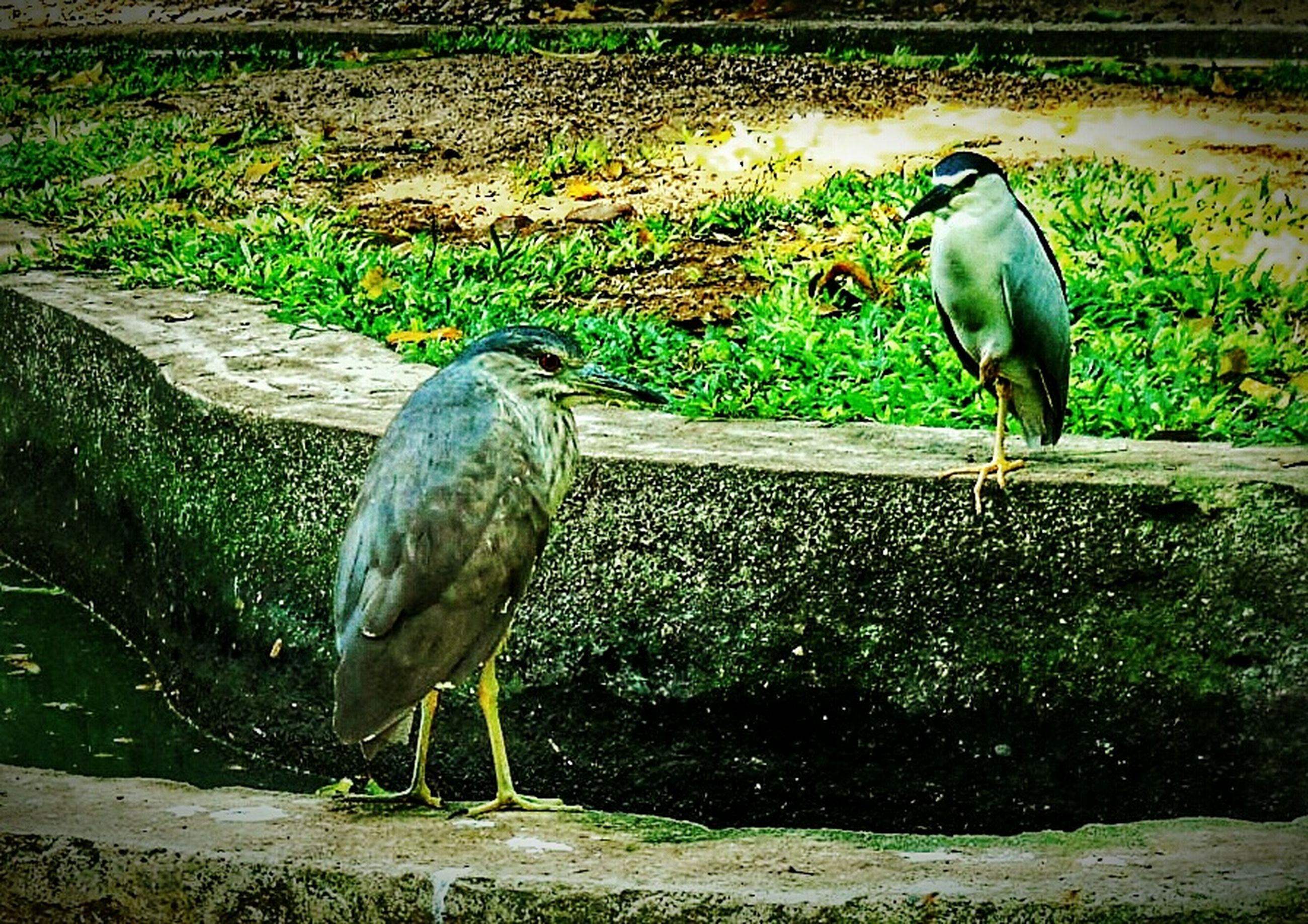animal themes, bird, animals in the wild, wildlife, grass, full length, one animal, side view, field, two animals, nature, standing, outdoors, walking, day, water, perching, three animals, focus on foreground, sunlight