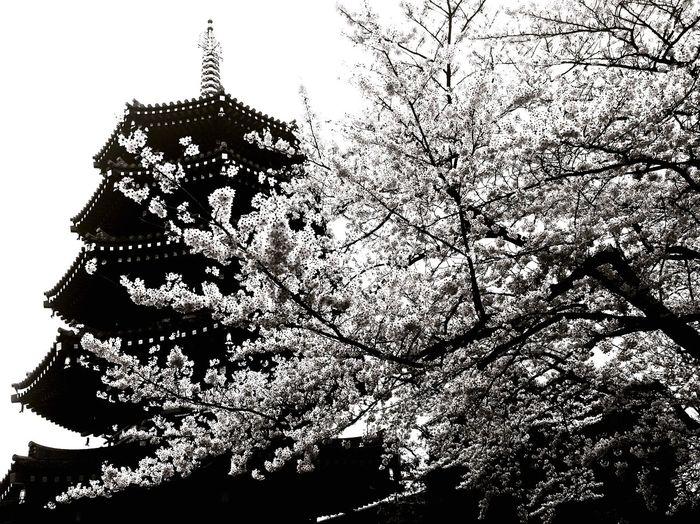 Cherry Blossoms Spring Temple Kawasaki Blackandwhite Photography B&w Blackandwhite Japan Ultimate Japan