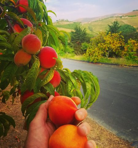 Fuzzy goodness. Fruit Human Hand Nature Outdoors Freshness Healthy Eating Tree California Gaviotacoast Beauty In Nature