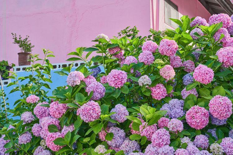 View of pink flowering plants