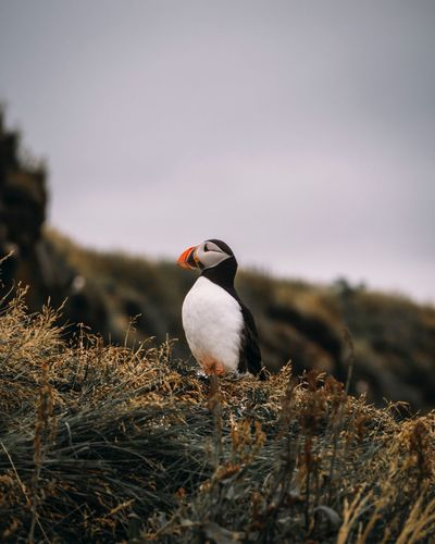 Be. Ready. EyeEm Selects Animals In The Wild Bird Animal Themes One Animal Animal Wildlife Nature No People Perching Day Outdoors Beak Beauty In Nature Sky Close-up Puffin Iceland EyeEm Best Shots EyeEmNewHere Puffin Island EyeEm Nature Lover EyeEm Gallery