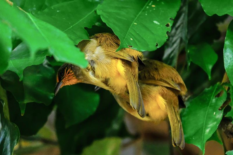 Two birds is perching under green leaves.