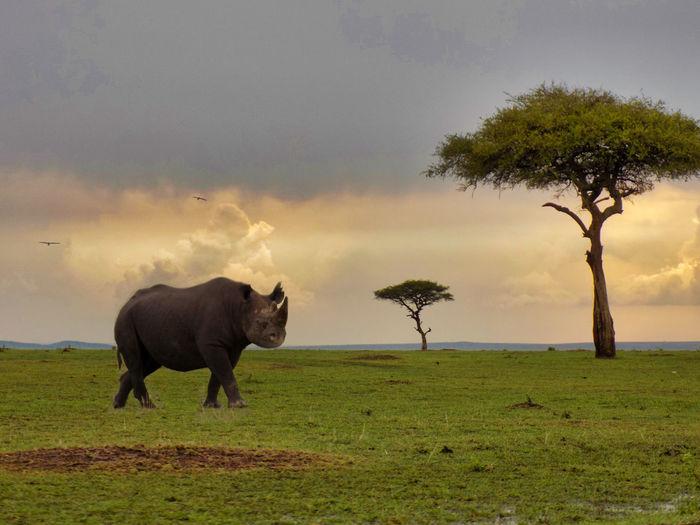 Rhino in masai mara national reserve