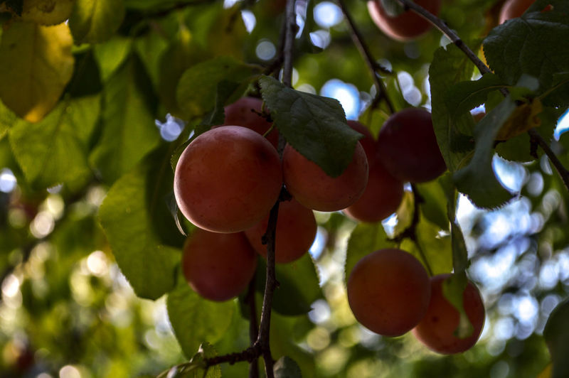 Fruit Growth Food And Drink Focus On Foreground Red Green Color No People Beauty In Nature Agriculture Nikonphotographer Light Nikon D3200 HDR Nature Outdoors Day Nikonphotography Light And Shadow Lifestyles Tree Food Freshness