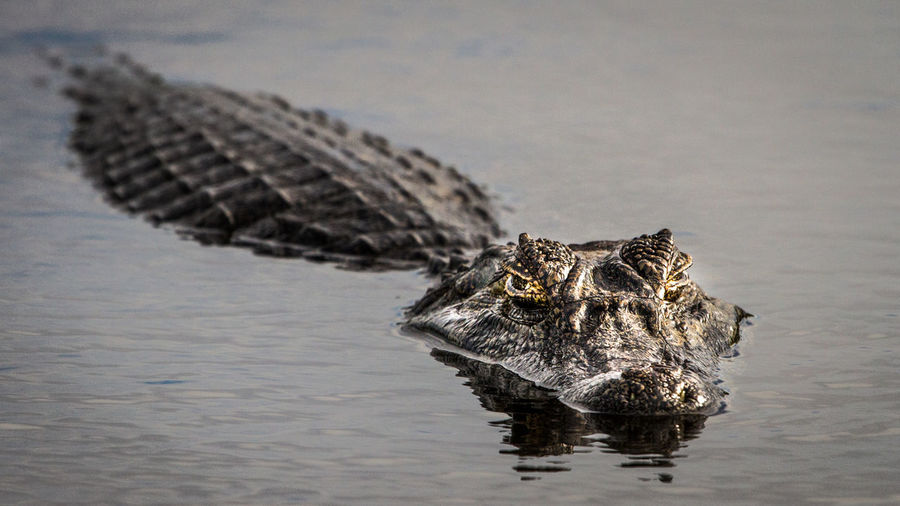 Animal Animal Themes Animals In The Wild Animal Wildlife Water One Animal Vertebrate Reptile Crocodile Waterfront No People Nature Lake Day Animal Body Part Outdoors Alligator Swimming Focus On Foreground Animal Head  Caiman Iberá Corrientes