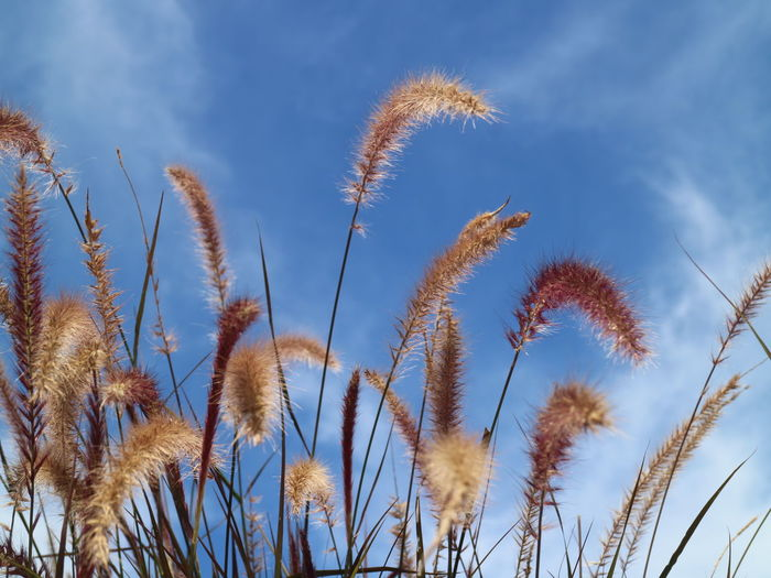 Low angle view of reed grass against blue sky