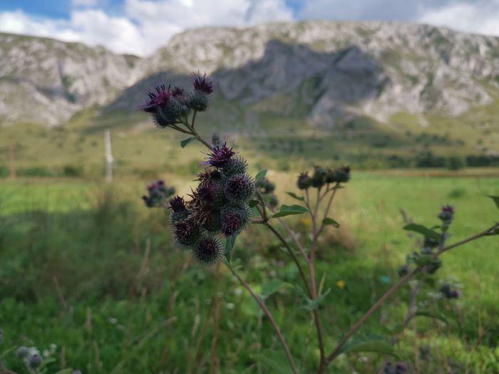 Flower Thistle