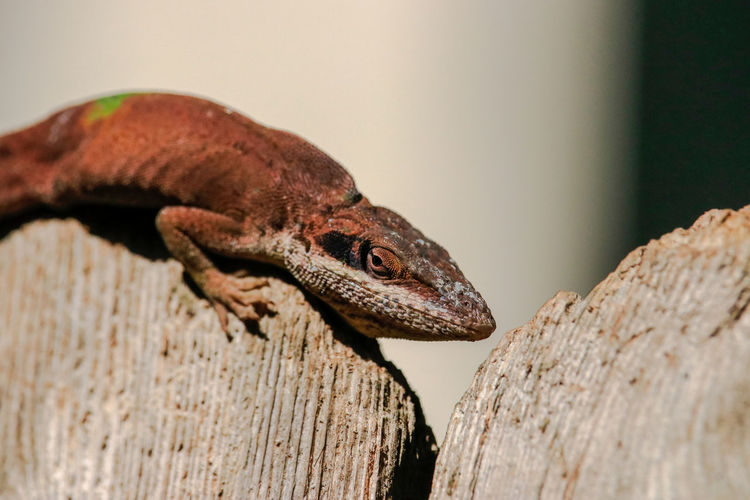 Close-Up Of Lizard On Wood During Sunny Day