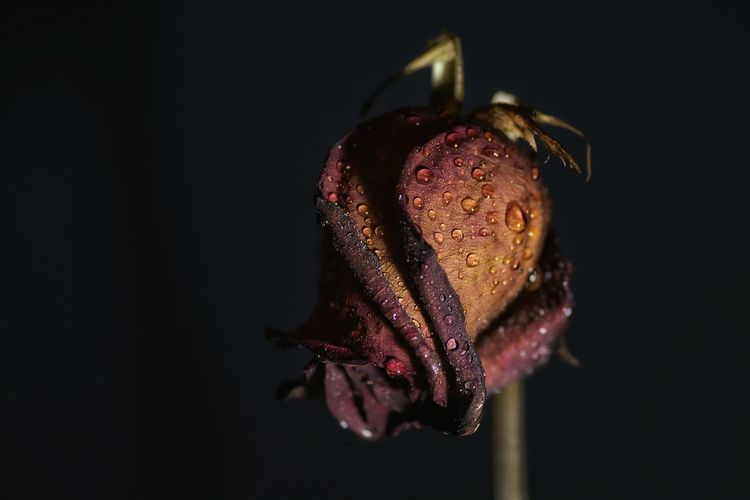 Close-up of wet rose at night