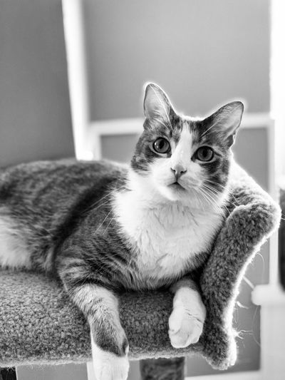 Caturday Domestic Pets Cat Mammal Domestic Cat Domestic Animals Feline One Animal Animal Themes Animal Vertebrate Portrait Indoors  Looking At Camera No People Relaxation Whisker Sitting