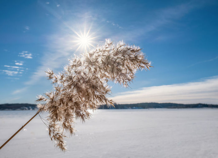 Bright winter day with common reed and sun beams at lake in Finland Sky Sunlight Beauty In Nature Nature Tranquility Plant Sun Tranquil Scene Scenics - Nature Sunbeam Lens Flare Cold Temperature No People Winter Outdoors Bright Day Environment Reed Finland Blue Sky Bright Landscape Beauty In Nature Daylight