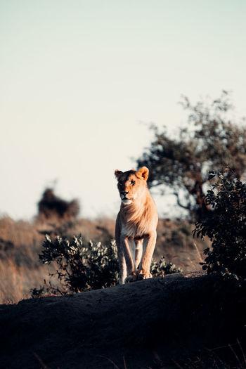 Lion looking away on field against sky