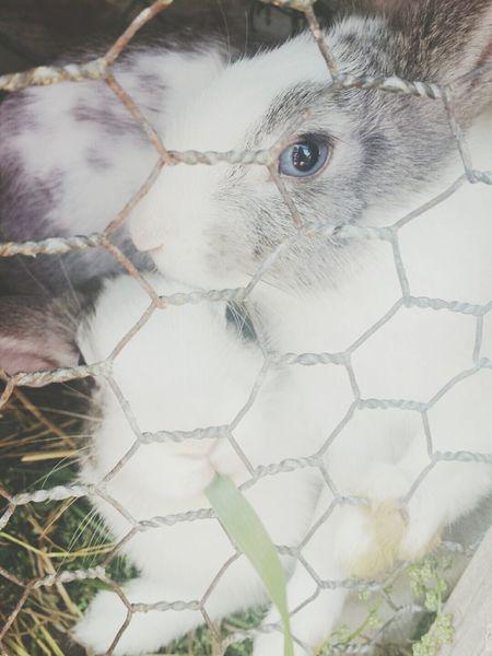 Rabbit Aye  Blue White