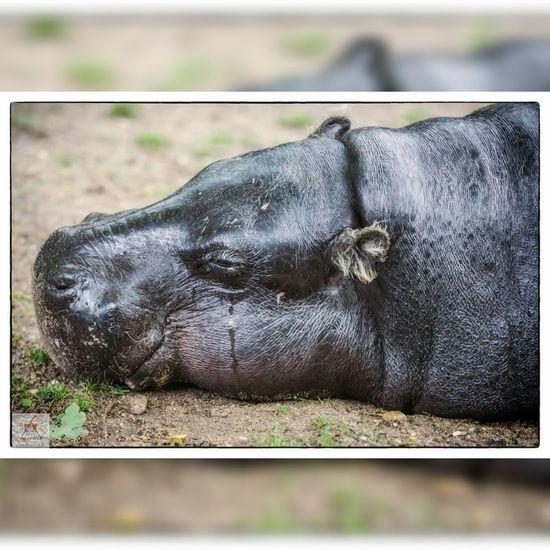 Animal Hippo Hippopotamus Burgers Zoo Zoo Zoo Animals  Tear
