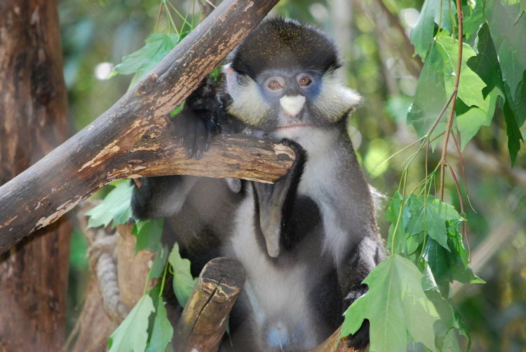Animal Themes Animal Wildlife Beauty In Nature Branch Care Day Guenon Monkey Heart Nosed Monkey Leaf Mammal Monkey Nature No People Outdoors Primate Tree Wildlife Is Amazing Wildlife Photography