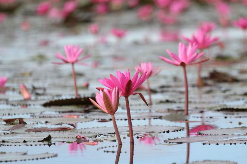 Red Lotus Red Lotus Lake Red Lotus In Thailand Red Lotus Thailand Beauty In Nature Lotus Water Lily