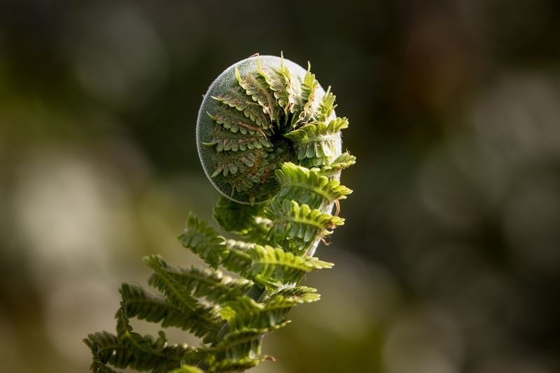 unfurling Macro In Nature Maro Spring Summer Fern Plant Close-up Growth Green Color Nature No People Beauty In Nature Outdoors Plant Part