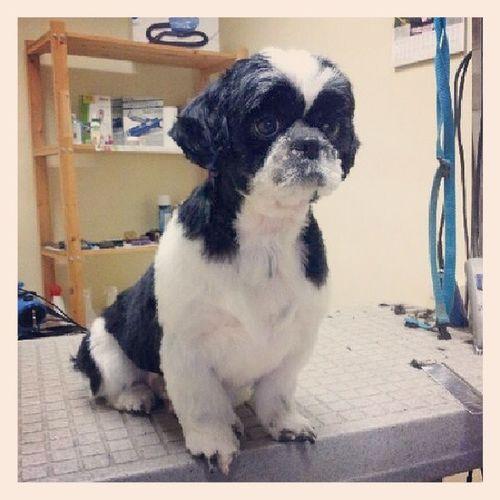 Shihtzu Groomer Dog Style Dart.