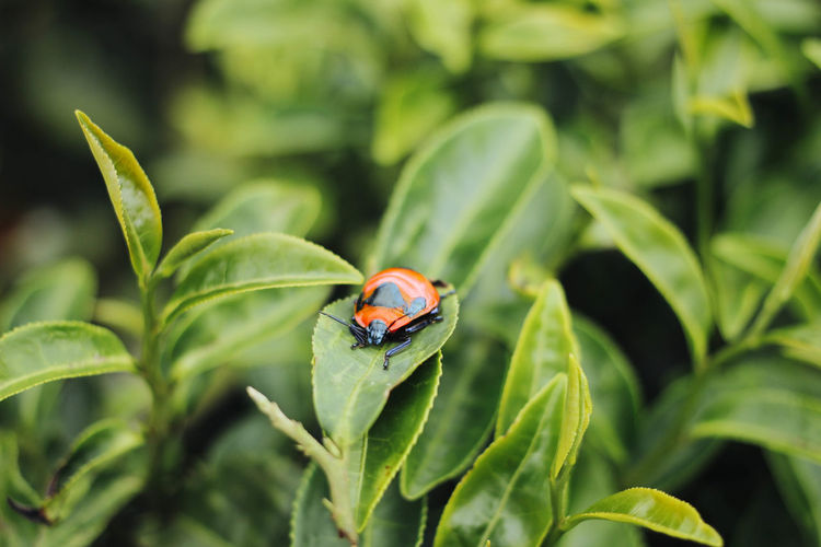 Ladybug on green leaf wild Animal Themes Animals In The Wild Beauty In Nature Close-up Day Green Color Growth Insect Ladybug Leaf Nature No People One Animal Outdoors Plant